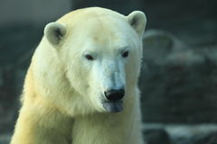 Detail of polar bear Royalty Free Stock Image