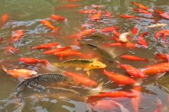 Red goldfishes in a pond stock photo