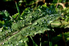 Detail of poppy (Papaver Somniferum) leaf with drops of water Royalty Free Stock Image