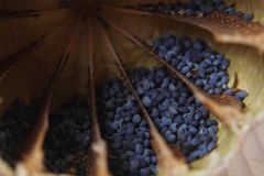 Detail of poppy seeds (food ingredient) Royalty Free Stock Photography