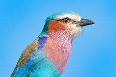 Detail portrait of beautiful bird. Lilac-breasted roller, Coracias caudatus, head with blue sky. Pink and blue animal from nature. Stock Photo