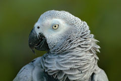 Detail portrait of beautiful grey parrot. African Grey Parrot, Psittacus erithacus, sitting on the branch, Africa. Bird from the G Royalty Free Stock Photos