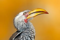 Detail portrait big bill bird from Africa. Southern Yellow-billed Hornbill, Tockus leucomelas, portrait of grey and black bird wit Royalty Free Stock Photography