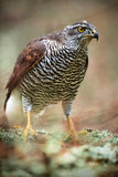 Detail portrait, birds of prey Goshawk sitting on the branch in the fallen larch forest during autumn, Sweden Stock Photo