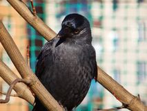 Detail portrait of black bird probably from crow family on the tree branch. Urban fauna stock photo