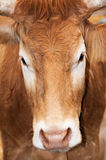Portrait of a cow Royalty Free Stock Photography