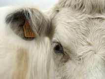 Detail portrait of a cow Royalty Free Stock Image