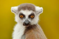 Detail portrait of cute monkey. Portrait of Ring-tailed Lemur, Lemur catta, with yellow clear background. Animal from Madagascar, Stock Photography
