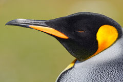 Detail portrait of king penguin in Antarctica. Head of penguin. Bird from Falkland Islands. stock photo
