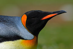 Detail portrait of king penguin in Antartica. Argentina Royalty Free Stock Photography