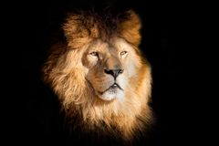 Detail portrait lion on the black background royalty free stock image