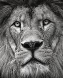 Detail portrait lion in black and white colour Stock Photography
