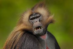 Detail portrait of monkey. Portrait of Gelada Baboon with open muzzle with tooths. Portrait of monkey from African mountain. Simie royalty free stock photo