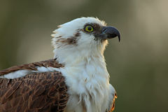 Detail portrait of osprey, bird of prey with yellow eye and curved bill, Florida, USA Stock Photo