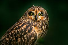 Detail portrait of owl, fixed eyes. Short-eared Owl, Asio flammeus, sitting on the spruce tree. Bird in the habitat, beautiful yel royalty free stock photos