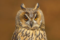 Detail portrait of owl. Long-eared Owl sitting on the branch in the fallen larch forest during autumn. Wildlife scene from the nat. Ure Stock Photo