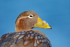 Detail portrait of rare duck. Kelp goose, Chloephaga hybrida, is a member of the duck, goose. It can be found in the Southern part Royalty Free Stock Photos