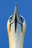 Detail portrait of sea bird. Northern gannet, detail head portrait of sea bird, sitting on the nest, with dark blue sea water in. Detail portrait of sea bird stock photos