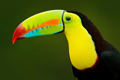 Detail portrait of toucan. Bill toucan portrait. Beautiful bird with big beak. Toucan. Big beak bird Chesnut-mandibled sitting on Royalty Free Stock Photos