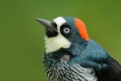 Detail portrait of tropic woodpecker. Woodpecker from Costa Rica mountain forest, Acorn Woodpecker, Melanerpes formicivorus. Bird Royalty Free Stock Image