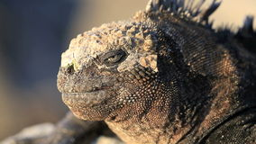 Detail portrait of watchful marine iguana stock video