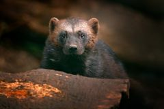 Detail portrait of wild wolverine. Face portrait of wolverine. Running tenacious Wolverine in Finland tajga. Danger animal in the. Habitat royalty free stock image
