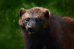 Detail portrait of wild wolverine. Face portrait of wolverine. Running tenacious Wolverine in Finland tajga. Wolverine in the fore. Detail portrait of wild stock images