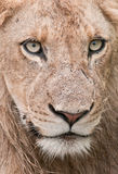 Detail portrait of a young male lion in Africa. A young male lion endures the drizzling rain in the Greater Kruger Transfrontier Park, South Africa royalty free stock image