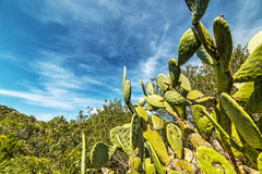 Detail of prickly pears in Sardinia Stock Image