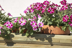 Detail of primula flowers Stock Image