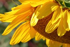 Detail Profile on Sunflower Royalty Free Stock Photo
