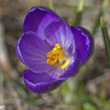 Detail of purple crocus flower Royalty Free Stock Image