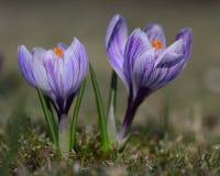Purple Crocus Flower Spring Detail Garden Wallpaper Card Stock Photo