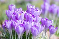 Detail of purple crocus Royalty Free Stock Photo