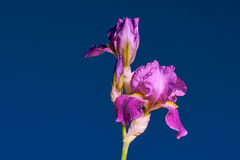 Detail of purple flower Iris Stock Image