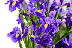Detail of purple iris spring flower. Detail of blue iris spring flower on white background Stock Photography
