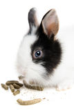 Detail of rabbit eating ration. Rabbit eating ration on white background Royalty Free Stock Photography