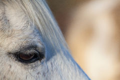 Detail of race horse Royalty Free Stock Photo