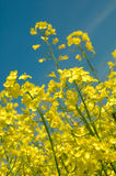 Detail of rapeseeds - GMO Stock Photos