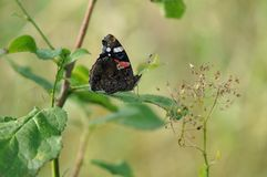 Red Admiral Butterfly on a leaf. Detail of Red-Admiral Butterfly on cherry leaf stock photos