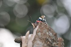 Red Admiral Butterfly stock photo