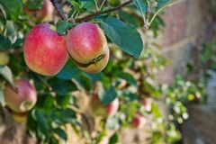 Red apples on the tree in the autumn. Detail red apples on the tree in the autumn royalty free stock photos