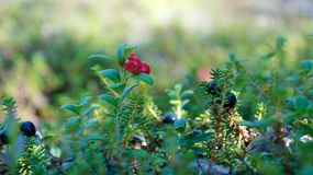 Detail of red and blue berries on forest floor Royalty Free Stock Image