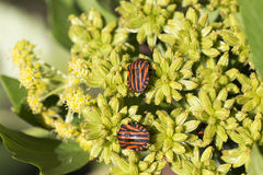 Detail of red Bug in the Nature, Graphosoma lineatum Royalty Free Stock Photography