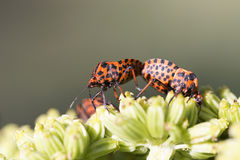 Detail of red Bug in the Nature, Graphosoma lineatum Stock Photography