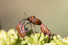 Detail of red Bug in the Nature, Graphosoma lineatum Royalty Free Stock Photo