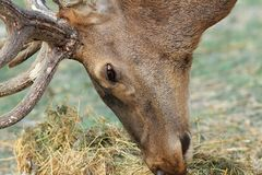 Detail of red deer grazing Stock Photos