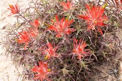 Detail of red desert wildflowers in Utah. USA Royalty Free Stock Images