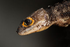 Detail of a red eyed crocodile skink Stock Photo