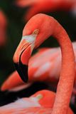 Detail of red flamingo head Royalty Free Stock Photo